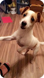 Fox Terrier (Toy)/Corgi Mix Puppy for adoption in PARSIPPANY, New Jersey - STANLEY