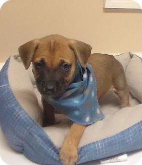 Boxer/Hound (Unknown Type) Mix Puppy for adoption in Lebanon, Maine - Haley
