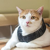 Domestic Shorthair Cat for adoption in New York, New York - Hamilton