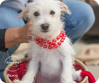 Maltese/Terrier (Unknown Type, Small) Mix Puppy for adoption in Inland Empire, California - BING