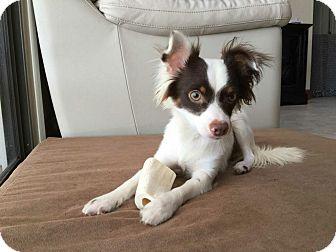Papillon Mix Dog for adoption in Oviedo, Florida - Latte