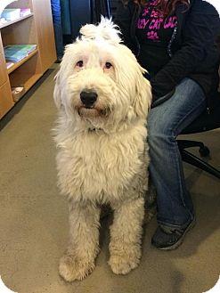 Old English Sheepdog Mix Dog for adoption in Bellingham, Washington - Doc