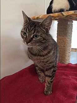 Domestic Shorthair Cat for adoption in Ashland, Ohio - Sally