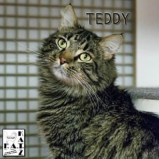 Domestic Mediumhair Cat for adoption in Albuquerque, New Mexico - Teddy