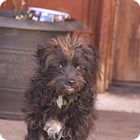 Adopt A Pet :: Linus - Phoenix, AZ