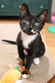 Domestic Shorthair Cat for adoption in Athens, Georgia - Ella (2)