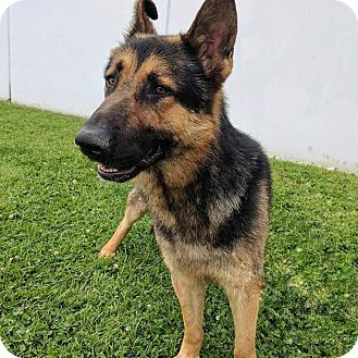 German Shepherd Dog Mix Dog for adoption in Los Angeles, California - JAGGER