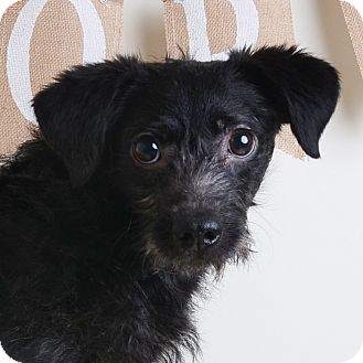 Mixed Breed (Small)/Terrier (Unknown Type, Small) Mix Dog for adoption in Wilmington, Delaware - Petrie