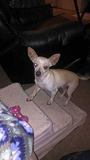 Chihuahua Dog for adoption in Livermore, California - Chris