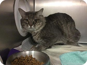 Domestic Shorthair Cat for adoption in Janesville, Wisconsin - Caleum