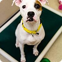 Adopt A Pet :: Ally - Naperville, IL