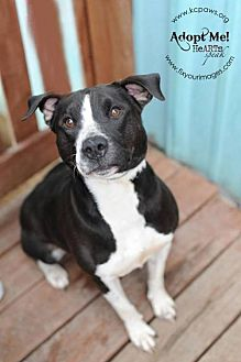 American Staffordshire Terrier Mix Dog for adoption in Kansas City, Missouri - Charlotte