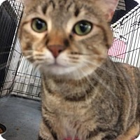 Adopt A Pet :: Miss Kitty 2 - Amarillo, TX