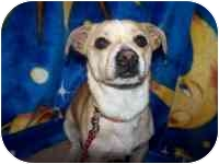 Jack Russell Terrier/Rat Terrier Mix Dog for adoption in Tracy, California - Jack