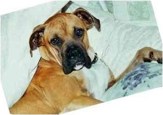 Boxer Dog for adoption in Navarre, Florida - Carter