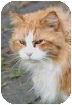 Domestic Longhair Cat for adoption in Crescent City, California - Julius