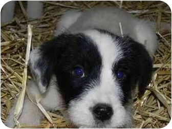 Old English Sheepdog/Labrador Retriever Mix Puppy for adoption in Salem, New Hampshire - Trixie