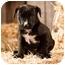 Photo 1 - Labrador Retriever Mix Puppy for adoption in Portland, Oregon - Jones