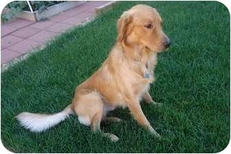 Golden Retriever Dog for adoption in Denver, Colorado - Zeke