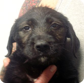 Schnauzer (Miniature)/Fox Terrier (Wirehaired) Mix Puppy for adoption in Manassas, Virginia - Luigi