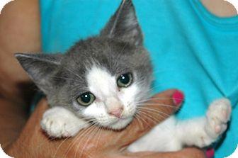 Russian Blue Kitten for adoption in Arcadia, California - Kittens
