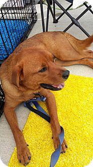 Labrador Retriever Mix Dog for adoption in LaGrange, Kentucky - CHIEF