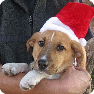 German Shepherd Dog/Border Collie Mix Puppy for adoption in Sacramento, California - Shellie