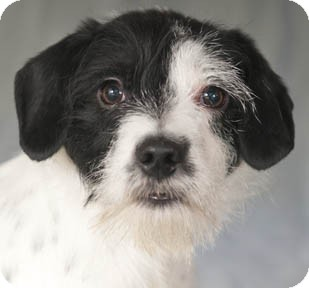 Jack Russell Terrier/Wirehaired Fox Terrier Mix Puppy for adoption in Chicago, Illinois - Chip
