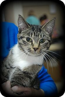 Domestic Shorthair Cat for adoption in Mt Sterling, Kentucky - Roxy