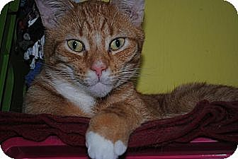 Domestic Shorthair Cat for adoption in Bay City, Michigan - Bailey