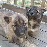 Adopt A Pet :: Huskey Mix - Greenville, SC