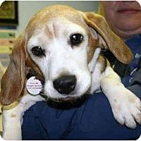 Adopt A Pet :: Harmony - Portland, OR
