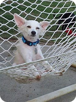 Papillon/Chihuahua Mix Dog for adoption in Huntsville, Alabama - Gandolf the White