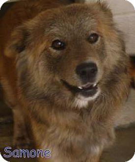 Keeshond Mix Dog for adoption in Georgetown, South Carolina - Samone