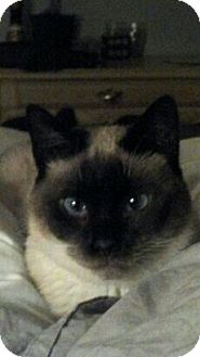Siamese Cat for adoption in Beacon, New York - Boonie (CR)