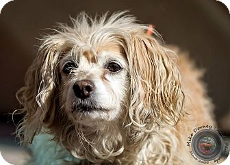 Cocker Spaniel Mix Dog for adoption in Westminster, California - Kaliha