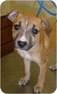 Pit Bull Terrier Mix Puppy for adoption in Fitchburg, Massachusetts - Crystal