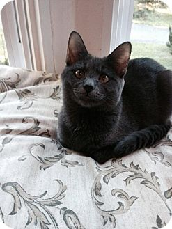 Domestic Shorthair Kitten for adoption in Fredericksburg, Virginia - Martin