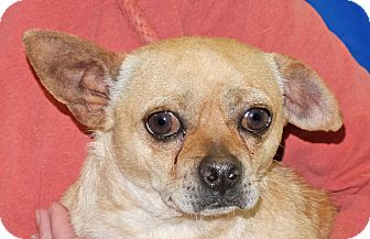 Chihuahua/Jack Russell Terrier Mix Dog for adoption in Spokane, Washington - Bobby