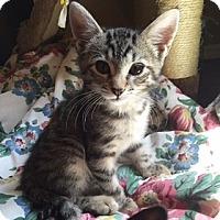 Adopt A Pet :: Tatanka - New  York City, NY