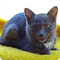 Adopt A Pet :: Sam Spade - N. Billerica, MA