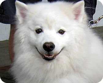American Eskimo Dog Dog for adoption in Downey, California - Jackson (and Jasmine)