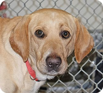 Labrador Retriever Mix Dog for adoption in Spokane, Washington - Marley
