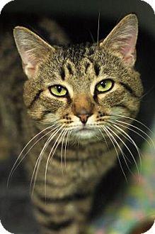 Domestic Shorthair Cat for adoption in Parma, Ohio - Michaelangelo