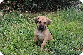 Labrador Retriever/Mastiff Mix Puppy for adoption in Pluckemin, New Jersey - Ryder