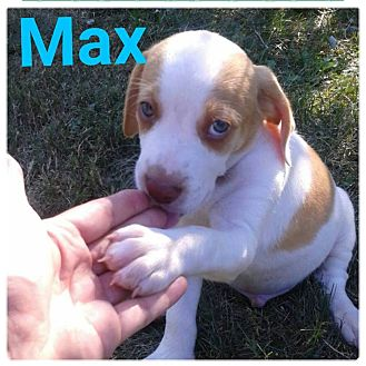 Hound (Unknown Type)/Labrador Retriever Mix Puppy for adoption in Huntington, Indiana - Max