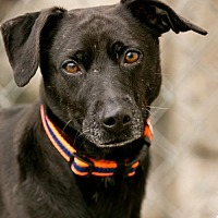 Adopt A Pet :: MIDNIGHT - Currently in a foster home - Roanoke, VA