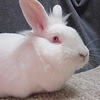 Lionhead Mix for adoption in Newport, Delaware - Spike