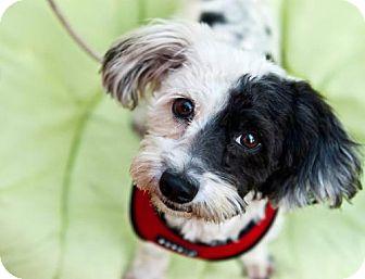 Poodle (Miniature) Mix Dog for adoption in Portland, Oregon - Gladys