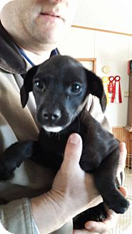 Beagle/Terrier (Unknown Type, Small) Mix Puppy for adoption in Wytheville, Virginia - Jet